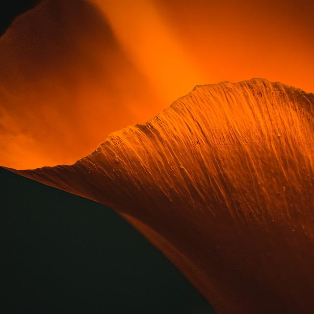 """Tulipa clusiana var. chrysanth Petal."" stock image"