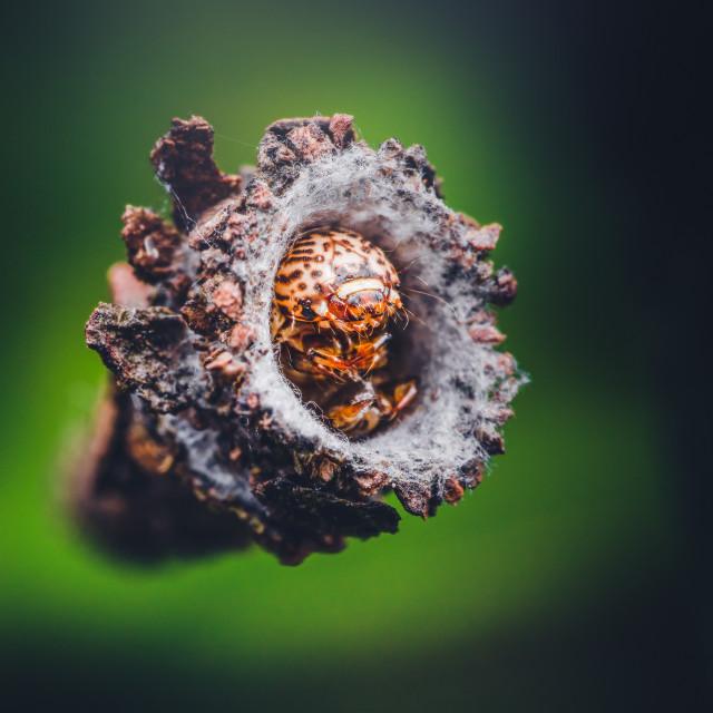 """Closeup of a Bagworm Moth Larva"" stock image"