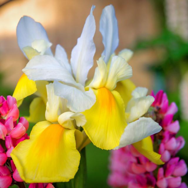 """Iris and Lupine"" stock image"