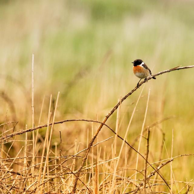 """""""Bird stonechat"""" stock image"""