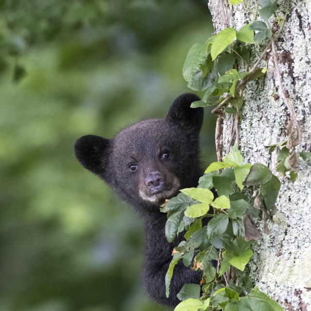 """""""Tiny Bear Cub"""" stock image"""