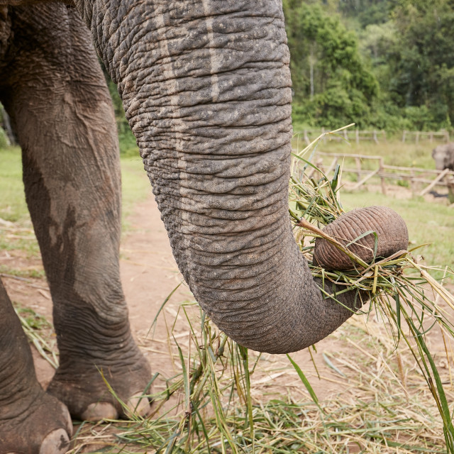 """""""Close-up view of elephant trunk during eating"""" stock image"""