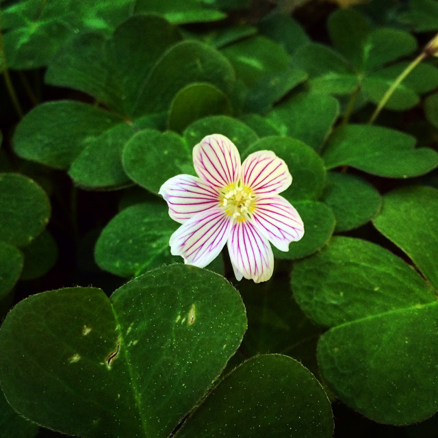 """""""Small Flower On Clovers"""" stock image"""