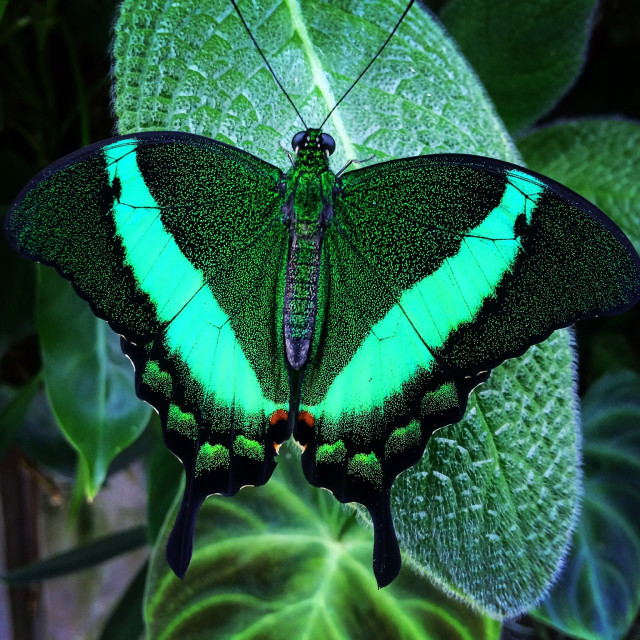 """""""Emerald Butterfly"""" stock image"""