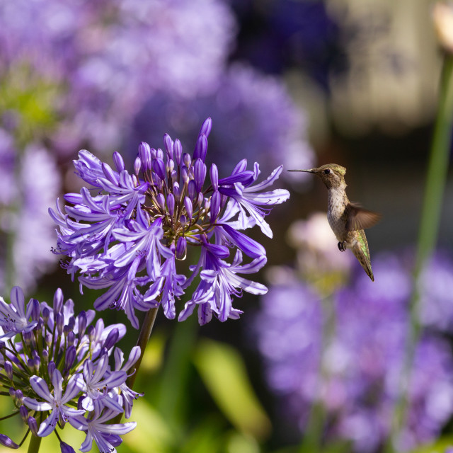 """Anna's hummingbird feeding on an African Lily"" stock image"