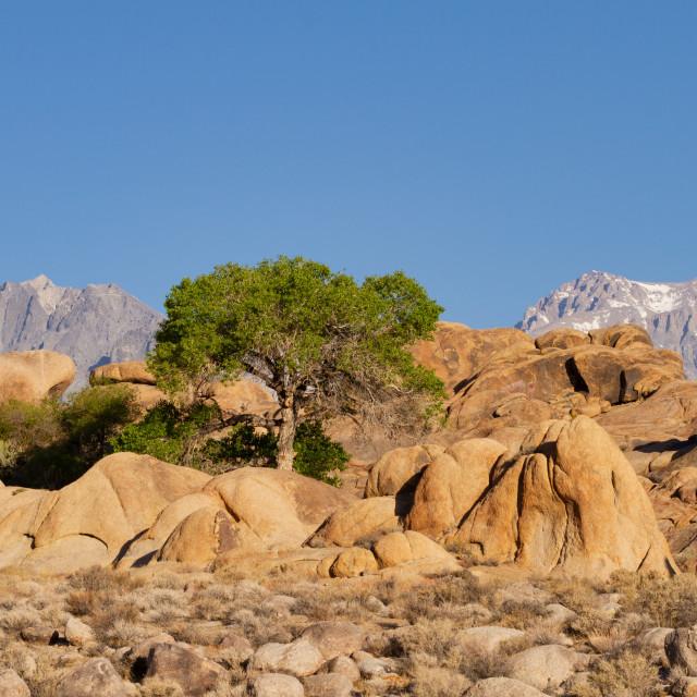 """Lone tree in the desert below the Sierra Nevadas"" stock image"