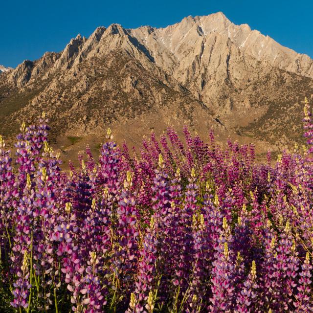 """""""Lupines in bloom below the Sierra Nevadas"""" stock image"""