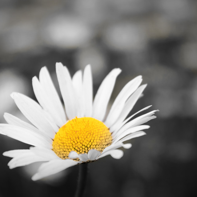 """Daisy alternate"" stock image"