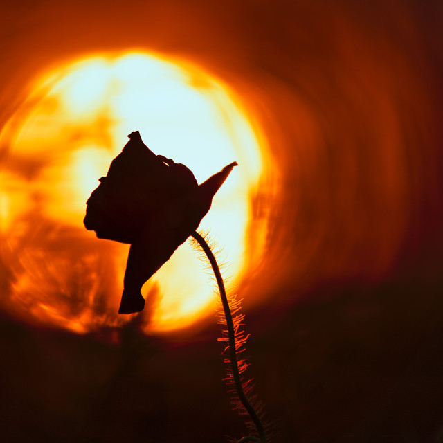 """""""A Poppy silhouette at sunset."""" stock image"""