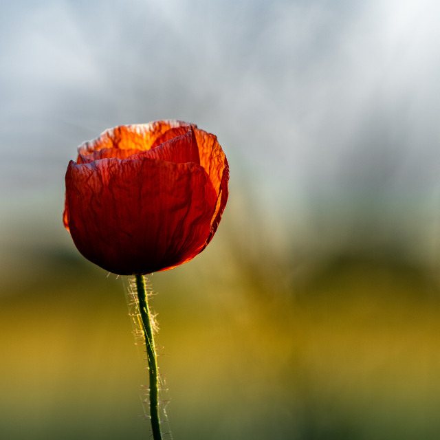 """A Poppy enjoying the sun."" stock image"