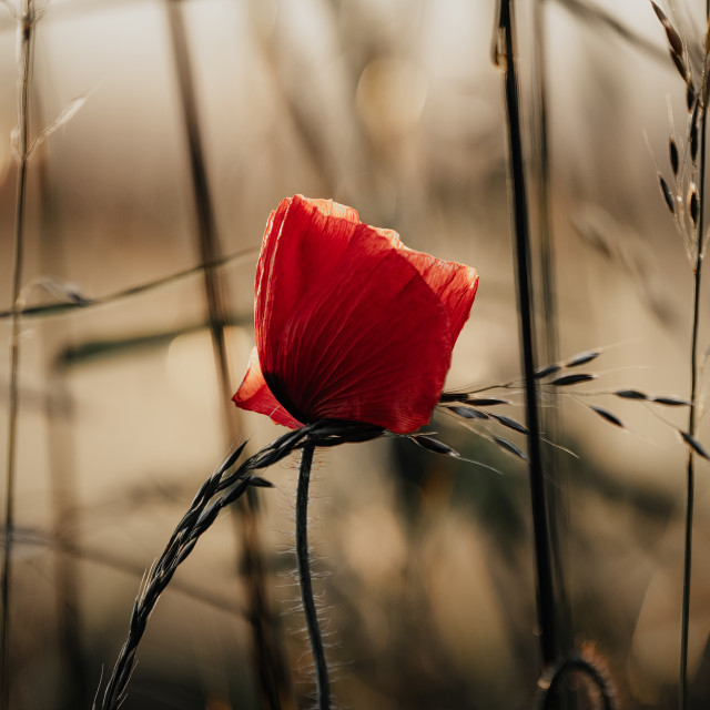 """""""A Poppy at sunset."""" stock image"""