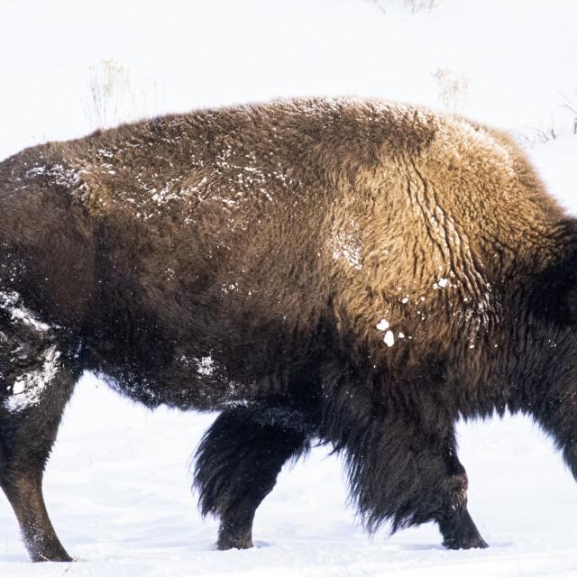 """Winter Beast"" stock image"