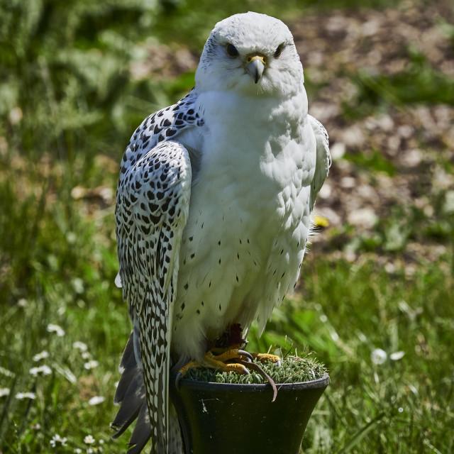 """""""White Hybrid Falcon"""" stock image"""