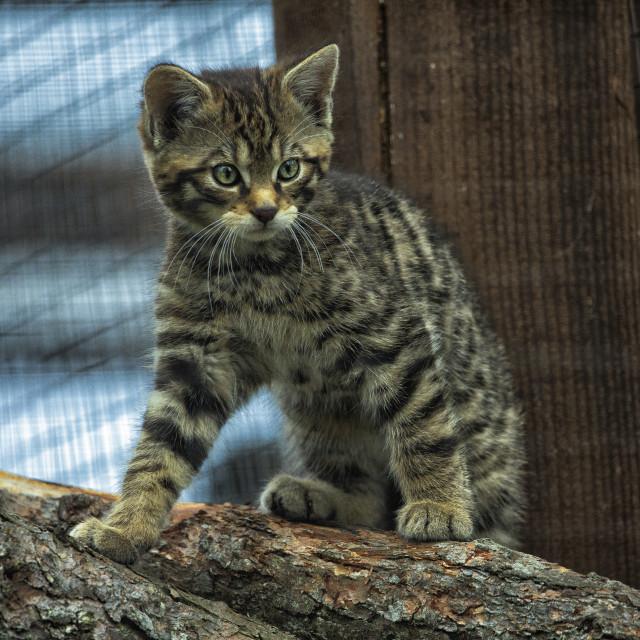 """Scottish Wildcat Kitten, Scottish Highlands"" stock image"