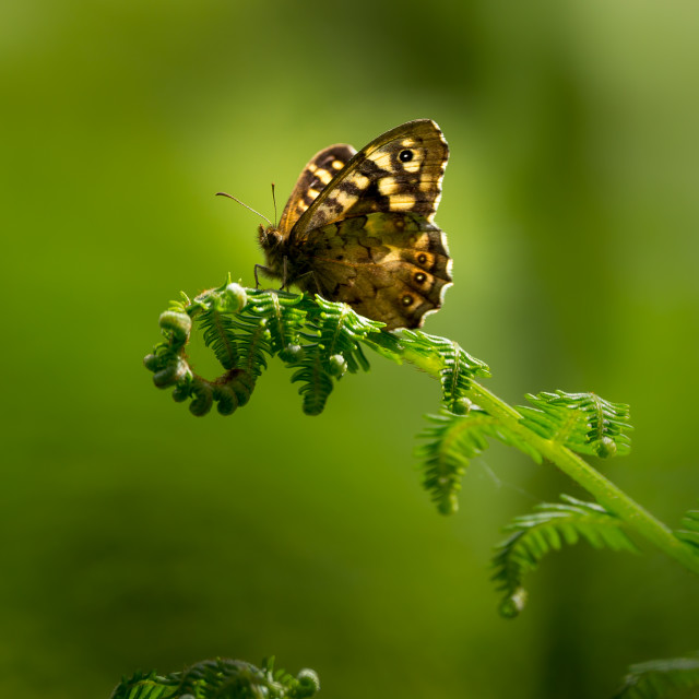 """""""Speckled Wood Butterfly"""" stock image"""