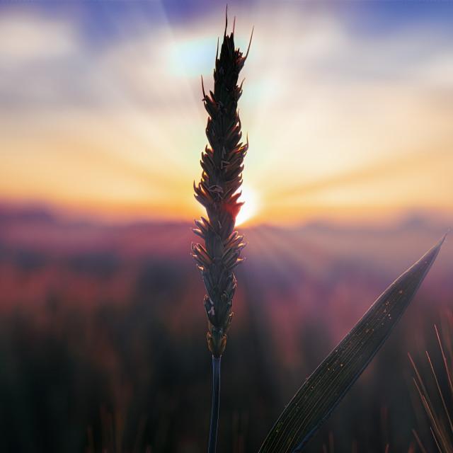 """Sunset over cornfield."" stock image"