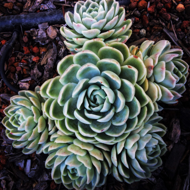 """""""Succulent Grouping"""" stock image"""