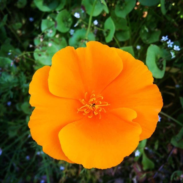 """California Poppy"" stock image"