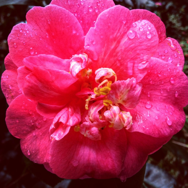 """""""Pink Dew Drops"""" stock image"""