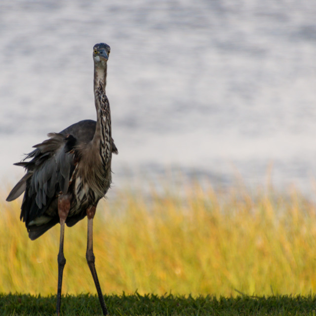 """""""GREAT BLUE HERON A LAKE SHORE LINED BY GOLDEN TALL GRASSES"""" stock image"""