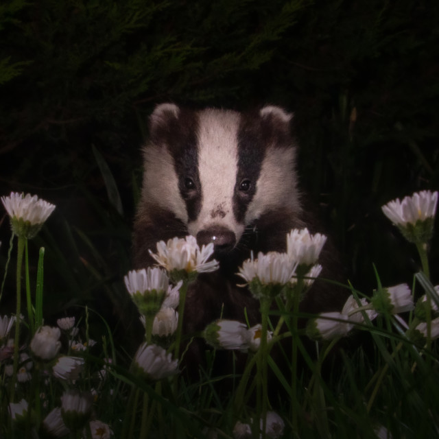 """""""Badger in the Daisys"""" stock image"""