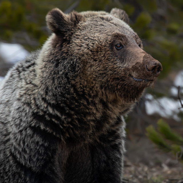 """grizzly bear-grand teton-national parks-bear"" stock image"