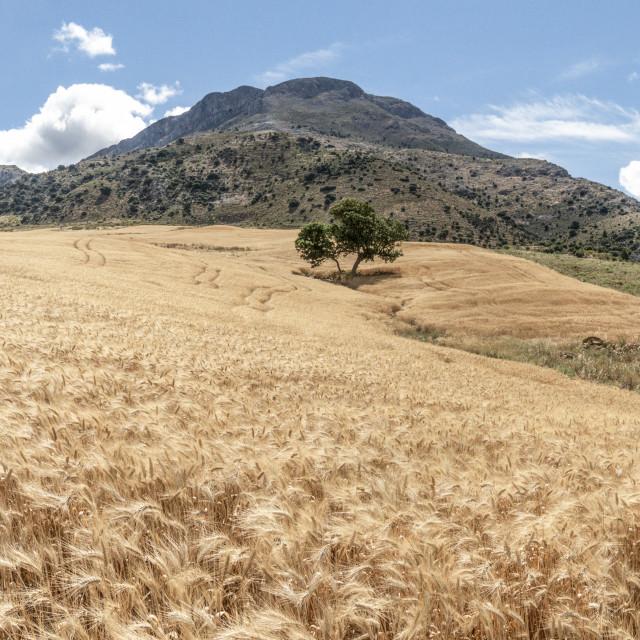 """Scenic landscape with wheat field, near El Burgo, Andalusia, Spain."" stock image"