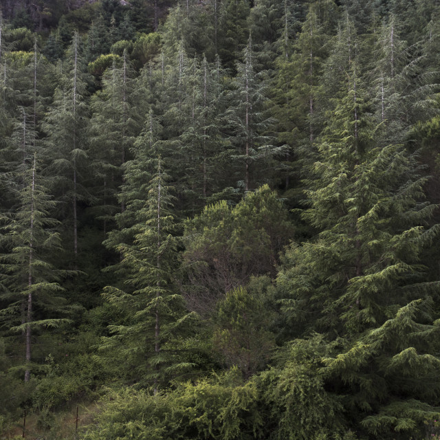 """""""Diversity of different pine trees"""" stock image"""