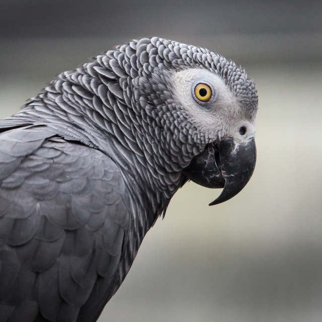 """""""African grey"""" stock image"""