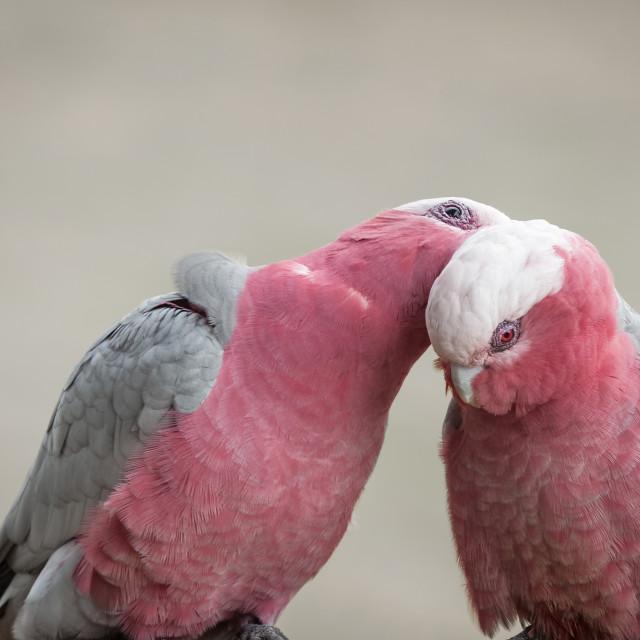 """Portrait of Galah Couple Grooming"" stock image"