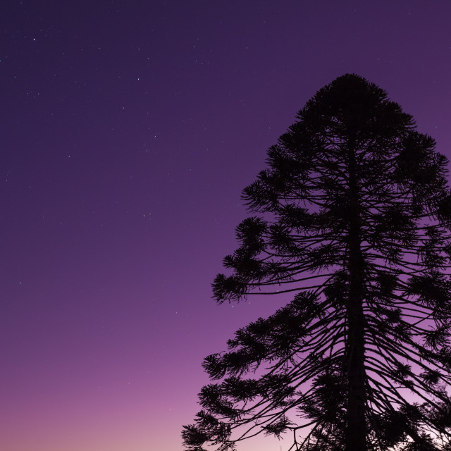"""Bunya Pine in the dusk sky"" stock image"