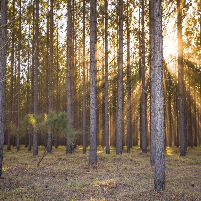 """Sunrise through the pine woods"" stock image"