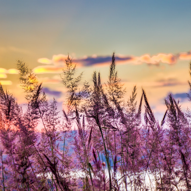 """""""Grass in the sunset"""" stock image"""