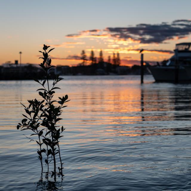 """Isolated mangrove at sunset // Forster Marina, NSW"" stock image"