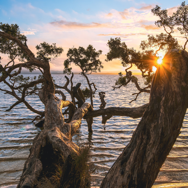 """Sunset through the bottlebrush tree // Booti Booti National Park"" stock image"