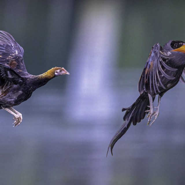 """""""Flying chickens..."""" stock image"""