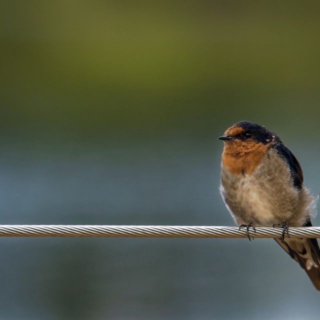 """""""Swallow on a wire"""" stock image"""