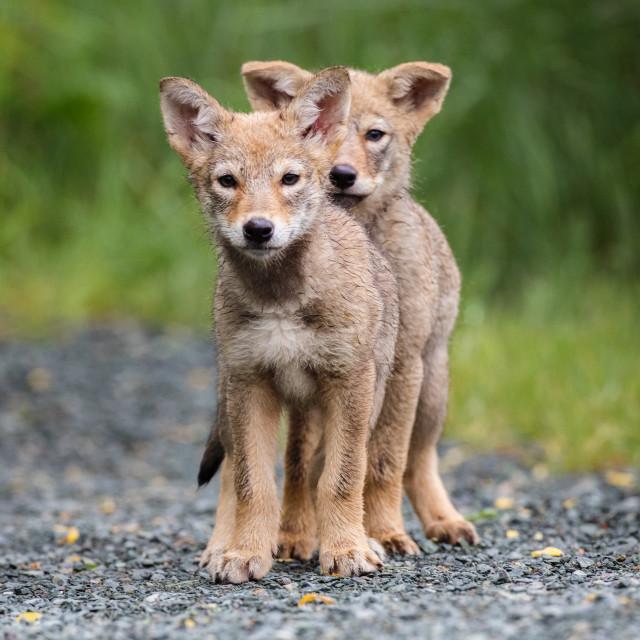 """Cutie coyotes"" stock image"