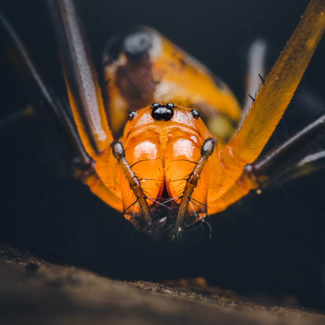"""Closeup of a Pear-shaped Opadometa Spider"" stock image"