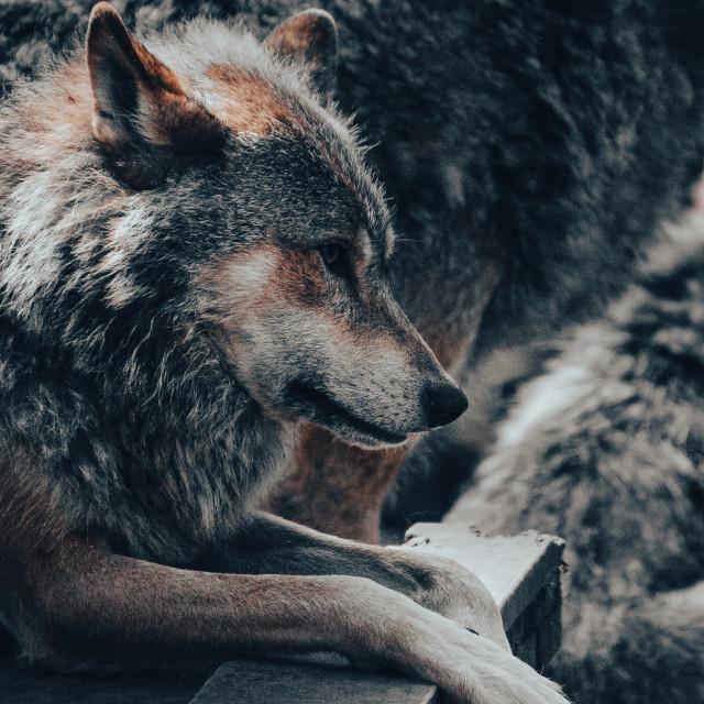 """European Grey Wolf"" stock image"
