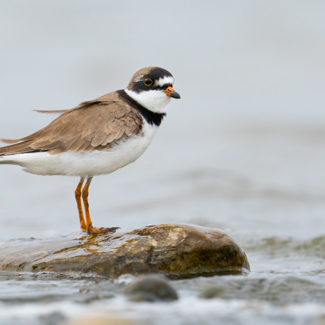 """""""Semipalmated Plover standing on stone at Reesor Pond, Markham, ON"""" stock image"""