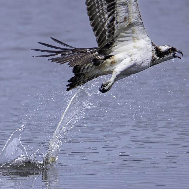 """Osprey lose its prey"" stock image"