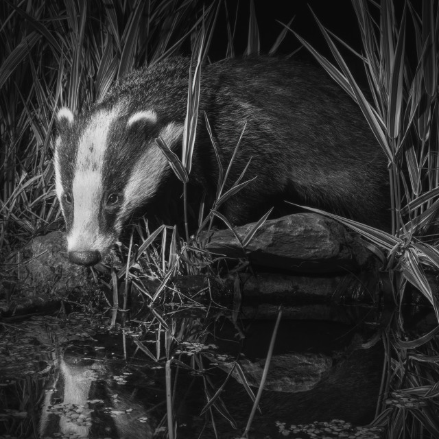 """""""Badger Reflections"""" stock image"""