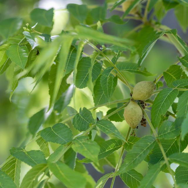 """Black walnut tree fruit and leaves"" stock image"