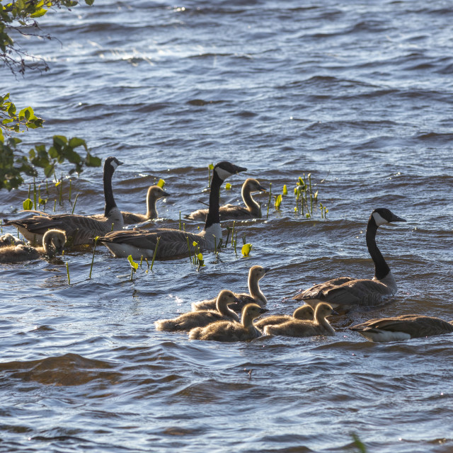 """""""Canada geese and their goslings in the water"""" stock image"""