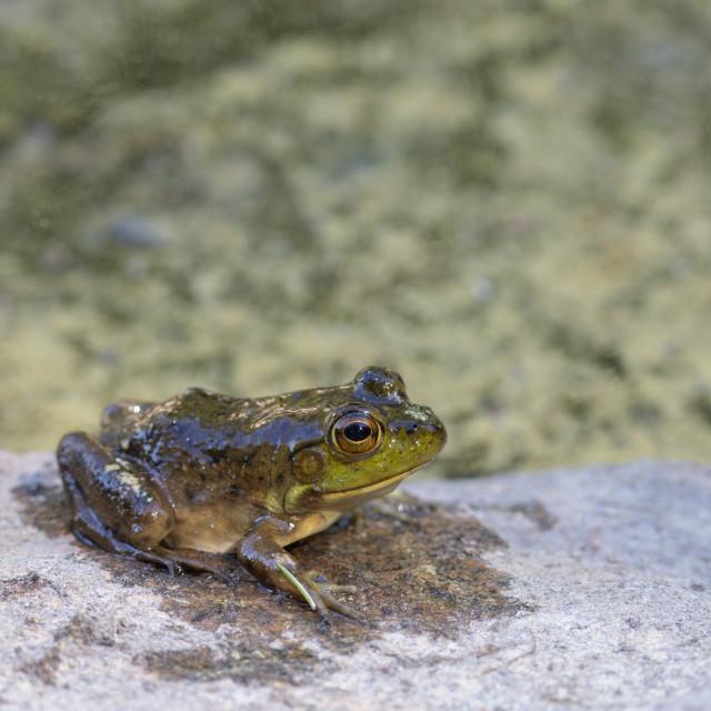 """Juvenile bullfrog resting on rock by pond"" stock image"
