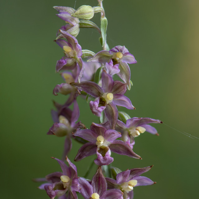 """""""Broad-leaved Helleborine subsp. Epipactis tremolsii, wild orchid, Andalusia, Spain."""" stock image"""