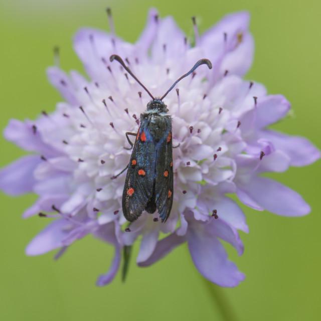 """Five-spot Burnet, Zygaena trifolii, perched, western Mediterranean moth, Southern Spain."" stock image"