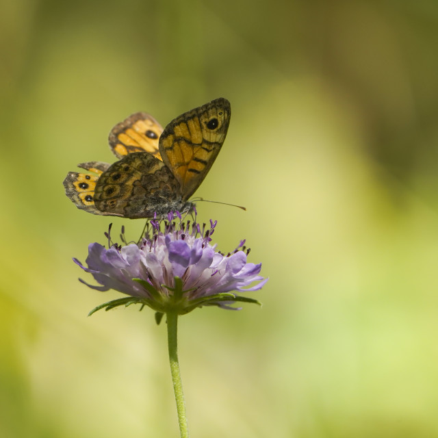 """""""Lasiommata megera, the wall butterfly, or wall brown butterfly"""" stock image"""
