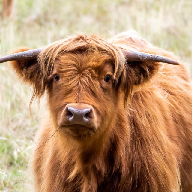 """Highland Cow."" stock image"